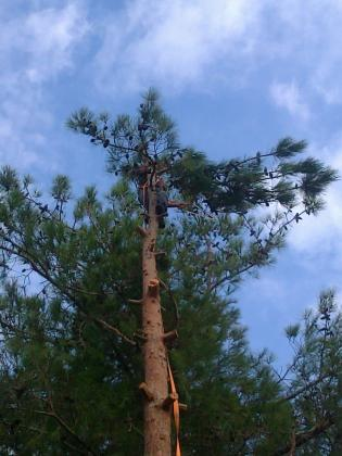 talla de pinos